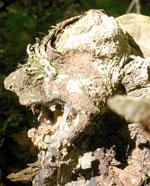 """Natural """"gargoyle"""" (Bear Meadows Natural Area, Centre County)"""